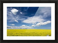 Flowering canola field with clouds and blue sky; Alberta, Canada Picture Frame print