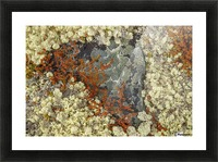 Caribou Moss and lichen grow abundatly in the tundra along the Dempster Highway, northern Yukon; Yukon, Canada Picture Frame print