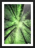 The aurora borealis glows overhead in a spruce forest in Portage Valley, Chugach National Forest, Southcentral Alaska. Picture Frame print