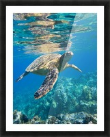 green sea turtle swimming in ocean sea Picture Frame print