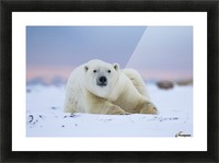 Polar bear (ursus maritimus) along the Hudson Bay coastline waiting for the bay to freeze over; Churchill, Manitoba, Canada Picture Frame print