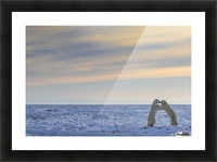 Polar bears (ursus maritimus) sparring on the coast of Hudson Bay; Manitoba, Canada Picture Frame print
