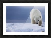 Polar bear (Ursus Maritimus); Churchill, Manitoba, Canada Picture Frame print