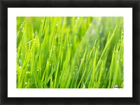 Close up of fresh grass with water drops in the early morning Picture Frame print