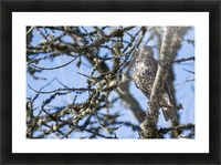 A young Red-tailed Hawk watches for movement in the grass below; Ridgefield, Washington, United States of America Picture Frame print