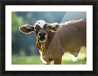 Herford calf bawls for it's mother; Gaitor, Florida, United States of America Picture Frame print