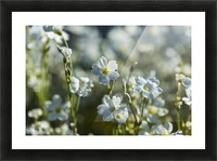 Chickweed (Stellaria media) blooms profusely in the spring; Astoria, Oregon, United States of America Picture Frame print