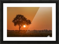 Backlit grass and silhouetted tree at sunset; Botswana Picture Frame print