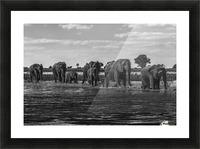 Line of elephants (Loxodonta africana) crossing river in sunshine; Botswana Picture Frame print