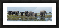 Panorama of elephants (Loxodonta africana) crossing shallow muddy river; Botswana Picture Frame print