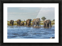 Line of elephants (Loxodonta africana) crossing river in sunshine; Botswana Picture Frame print