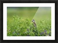 A male Dickcissel (Spiza americana) singing; Vian, Oklahoma, United States of America Picture Frame print