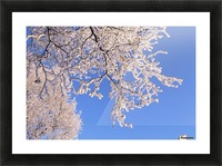 Hoar frosted tree branches against a blue sky; Anchorage, Alaska, United States of America Picture Frame print