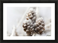 Close up of frosted pine cones; Calgary, Alberta, Canada Picture Frame print