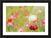 Poppies in a meadow; Burnaby, British Columbia, Canada Picture Frame print