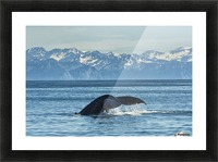 Humpback whale (Megaptera novaeangliae) in Seward harbour; Seward, Alaska, United States of America Picture Frame print