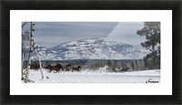 Horses running in the snow on a ranch in winter; Montana, United States of America Picture Frame print