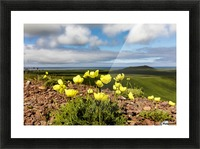 Arctic poppy (Papaver radicatum) grows from the volcanic soil of St. Paul Island in the Pribilofs in Southwest Alaska; St. Paul Island, Pribilof Islands, Alaska, United States of America Picture Frame print