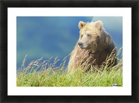 Portrait of a brown bear (portrait), Katmai National Park; Alaska, United States of America Picture Frame print