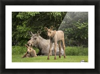 A cow moose (alces alces) relaxes on a lawn with her twin calves; Anchorage, Alaska, United States of America Picture Frame print