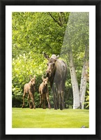 A cow moose (alces alces) with her calves on green grass with lush green foliage; Anchorage, Alaska, United States of America Picture Frame print