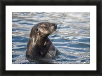 Sea Otter (Enhydra lutris) swims in Resurrection Bay near Seward small boat harbour in south-central Alaska; Seward, Alaska, United States of America Picture Frame print