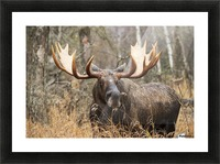 Bull moose (alces alces) in rutting season; Anchorage, Alaska, United States of America Picture Frame print