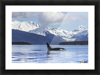 An Orca Whale (Killer Whale) (Orcinus orca) surfaces in Lynn Canal, Herbert Glacier, Inside Passage; Alaska, United States of America Impression et Cadre photo