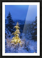 A festive Mountain Hemlock evergreen tree strung with white lights and covered in snow in a wintery landscape, Kenai Mountains; Moose Pass, Alaska, United States of America Picture Frame print