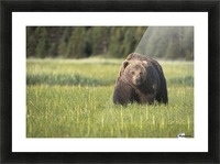 Brown bear (ursus arctos) in Lake Clark National Park; Alaska, United States of America Picture Frame print