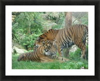 Tigers Picture Frame print