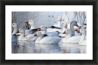Lesser Snow Geese VP1 Picture Frame print