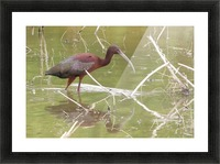 Glossy Ibis VP2 Picture Frame print