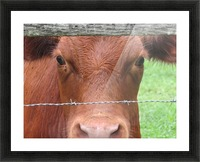 Cow in Stevenson, MD VP 2 Picture Frame print