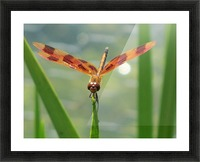 Dragonfly in Lincoln Park VP1 Picture Frame print