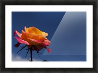 Pink and Orange Rose with Blue Sky Picture Frame print