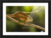 Chameleon in his natural habitat, Madagascar Picture Frame print