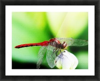 Red Dragonfly 3 Picture Frame print