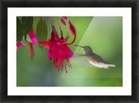 Hummingbird Picture Frame print