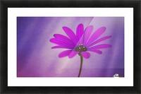 Purple Osteospermum Picture Frame print