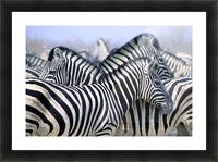 Burchell's Zebra (Equus Quagga Burchellii), Etosha National Park, Namibia, Africa Picture Frame print