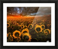 Sunflower Field Picture Frame print