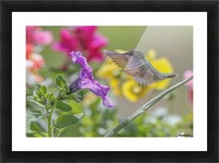 Humming Bird Purple Flower Photo by Jason Andrew Smith Picture Frame print