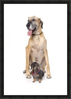 Great Dane And Dachshund Portrait Picture Frame print