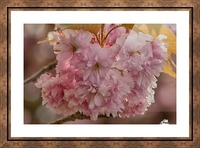 Apple Blossoms Picture Frame print