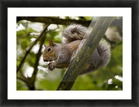 Gray Squirrel On A Tree Branch Picture Frame print