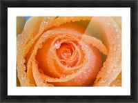 Orange Rose With Dew Picture Frame print