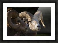 Bighorn Sheep, Waterton National Park, Alberta, Canada Picture Frame print