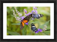 Three Colorful Butterflies On Blossoms In Spring; Oregon, Usa Picture Frame print
