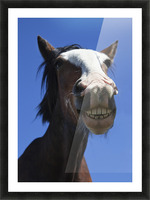 A Horse Smiling And Showing It's Teeth; Northumberland, England Picture Frame print